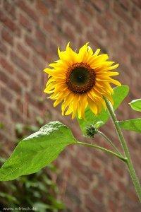 Sonnenblume, 2006